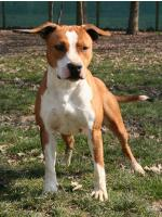 American Staffordshire Terrier, amstaff - Foundation, Thelma (AtaxiaClear)
