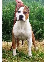 American Staffordshire Terrier, amstaff - Bred-by, Blaster (Ataxia Clear By Parental)