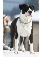 American Staffordshire Terrier Obelix (Ataxia Clear By Parental)