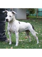 American Staffordshire Terrier Maggie (Ataxia Clear by Parental)