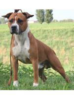 American Staffordshire Terrier, amstaff - Bred-by, River