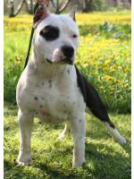 American Staffordshire Terrier, amstaff - Bred-by, Jack (Ataxia Clear) HD-B ED-0 Cardio Normal