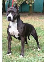 American Staffordshire Terrier, amstaff - Foundation, Maffin (Ataxia Clear)