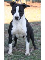 American Staffordshire Terrier, amstaff - Foundation, Nevada (Ataxia Clear By Parental)