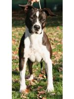 American Staffordshire Terrier, amstaff - Bred-by, Sophie (Ataxia Clear By Parental)