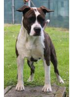American Staffordshire Terrier, amstaff - Bred-by, Daisy (Ataxia Clear By Parental)