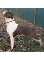 American Staffordshire Terrier, amstaff - , Chapo