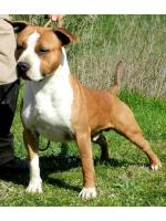 American Staffordshire Terrier, amstaff - Males, Hulk (Ataxia Clear)