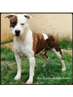 American Staffordshire Terrier Caio(Ataxia Clear By Parental)