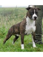 American Staffordshire Terrier Tobi (Ataxia Clear By Parental)