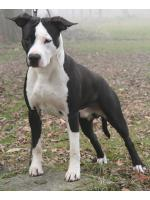 American Staffordshire Terrier, amstaff - Bred-by, Andy
