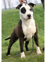 American Staffordshire Terrier Gioia(Ataxia Clear By Parental)