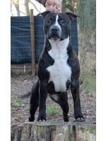 American Staffordshire Terrier, amstaff - Bred-by, Jacqueline (Ataxia Clear by Parental)