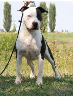 American Staffordshire Terrier, amstaff - Bred-by, Snow (Ataxia Clear By Parental)