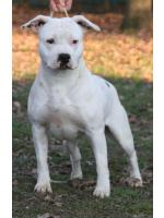 American Staffordshire Terrier, amstaff - Bred-by, Alaska (Ataxia Clear)