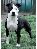 American Staffordshire Terrier, amstaff - Bred-by, Money  (Ataxia Clear By Parental )