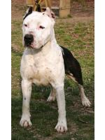 American Staffordshire Terrier, amstaff - , Cyrius (AtaxiaClear)