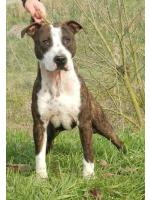 American Staffordshire Terrier, amstaff - Bred-by, Dago (Ataxia Clear By Parental)