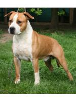 American Staffordshire Terrier Tommy (Ataxia Carrier)
