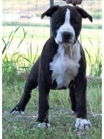 American Staffordshire Terrier, amstaff - Bred-by, Antoine (Ataxia Clera By Parental)