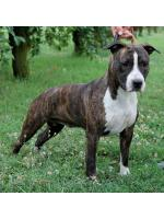 American Staffordshire Terrier, amstaff - Bred-by, Nellie (Ataxia Clear By Parental)