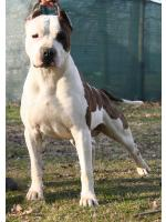 American Staffordshire Terrier, amstaff - Bred-by, Main (Ataxia Carrier)