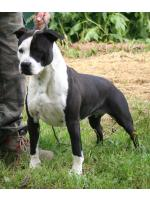 American Staffordshire Terrier, amstaff - Foundation, Megan (Ataxia Carrier)