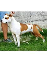 American Staffordshire Terrier, amstaff - Bred-by, Fanta (Ataxia Clear By Parental)