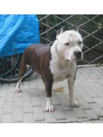 American Staffordshire Terrier, amstaff - Foundation, Cash