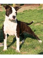 American Staffordshire Terrier Joy (Ataxia Clear By Parental)
