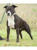 American Staffordshire Terrier Furia