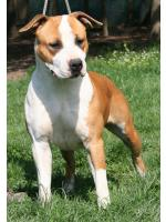 American Staffordshire Terrier, amstaff - Foundation, Sun/Fergie  (Ataxia Clear By Parental)