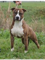 American Staffordshire Terrier, amstaff - Bred-by, West (Ataxia Carrier)