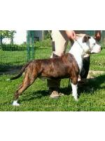 American Staffordshire Terrier, amstaff - Bred-by, Argo (Ataxia Clear By Parental)