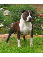 American Staffordshire Terrier, amstaff - Males, Lion (Ataxia Clear by Parental)