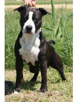 American Staffordshire Terrier Thor (Ataxia Carrier)