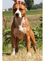 American Staffordshire Terrier, amstaff - Bred-by, Diablo