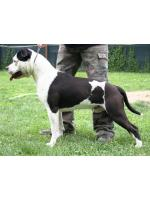 American Staffordshire Terrier, amstaff - Bred-by, Sioux (Ataxia Clear By Parental)