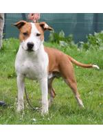 American Staffordshire Terrier, amstaff - Bred-by, Ares