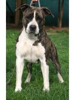 American Staffordshire Terrier, amstaff - Bred-by, Mg (Ataxia Clear)