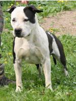 American Staffordshire Terrier, amstaff - Foundation, Luke (Ataxia Clear)