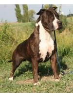 American Staffordshire Terrier, amstaff - , Mickey (Ataxia Clear By Parental)