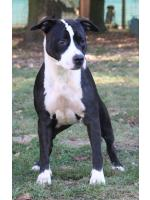 American Staffordshire Terrier Maya (Ataxia Carrier)