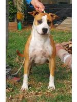 American Staffordshire Terrier, amstaff - Bred-by, Trudy