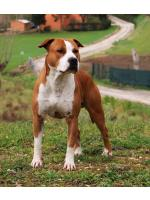 American Staffordshire Terrier, amstaff - Bred-by, Coffee