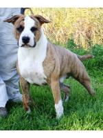 American Staffordshire Terrier Chico (Ataxia Clear By Parental)