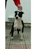 American Staffordshire Terrier, amstaff - , Raja (Ataxia Clear)