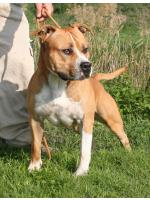 American Staffordshire Terrier, amstaff - Bred-by, Jago (Ataxia Clear By Parental)