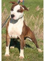 American Staffordshire Terrier, amstaff - Bred-by, Gold (Ataxia ClearBy Parental)