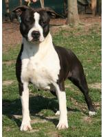 American Staffordshire Terrier, amstaff - Foundation, Queen (Ataxia Clear)